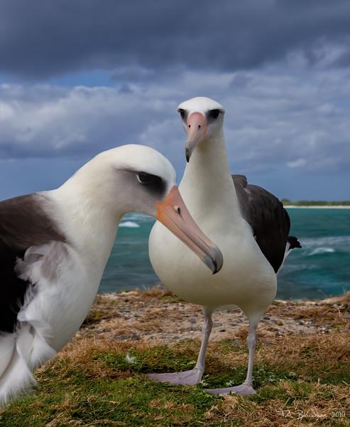 Albatross_Laysan TAB10MK4-11821-Edit