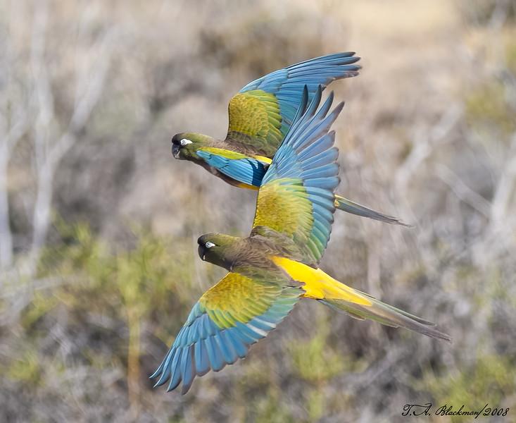 Parrot_Burrowing TAB08MK3-18392-Edit-2