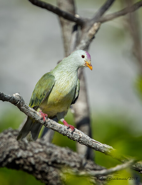 Atoll Fruit Dove