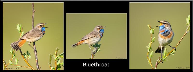 Bluethroat Composite