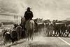 Draggin Y Cattle Company--8