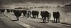 Draggin Y Cattle Company-