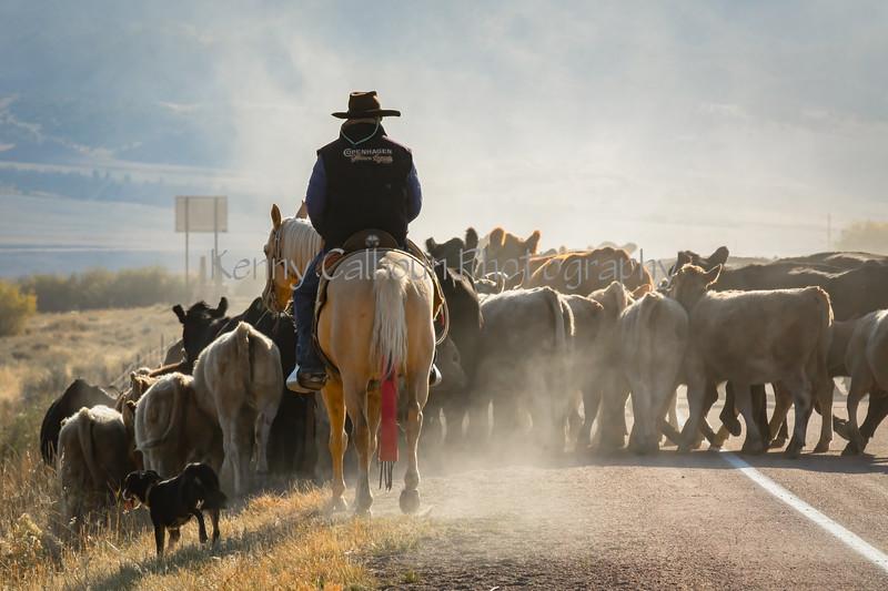 Draggin Y Cattle Company--9