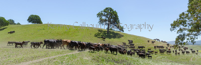 4-29 Pacific Livestock_N5A0028