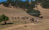 Yolo Land & Cattle 5-18-13_N5A4341