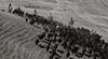 Yolo Land & Cattle 5-18-13IMG_6749-Edit