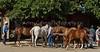 Yolo Land & Cattle 5-18-13IMG_6667