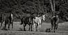 Yolo Land & Cattle 5-18-13IMG_6625-Edit-Edit