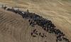Yolo Land & Cattle 5-18-13IMG_6745