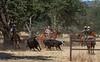 May 27 2015 Yolo Land & CattleIMG_6420