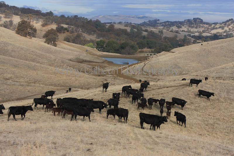 IMG_5988Yolo Land & Cattle