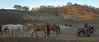 Yolo Land & Cattle 1-3-2014_N5A0523