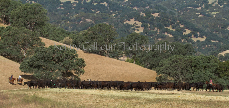 Yolo Land and Cattle 2014IMG_4625