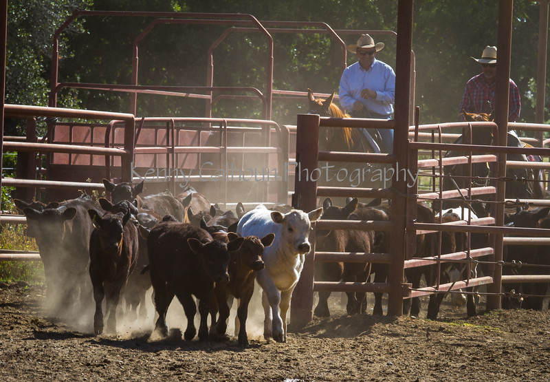 Yolo Land and Cattle 2014IMG_4804