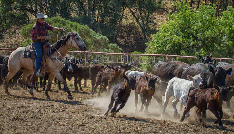 Yolo Land and Cattle 2014IMG_4869-Edit-2