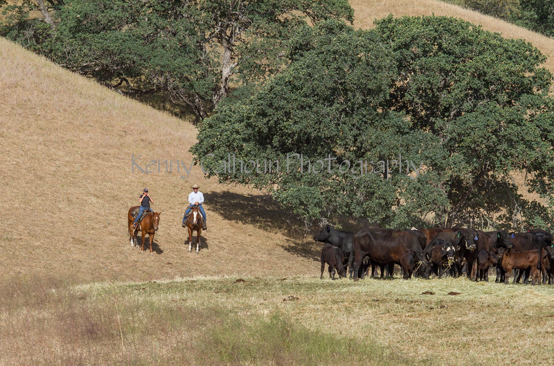 Yolo Land and Cattle 2014IMG_4623