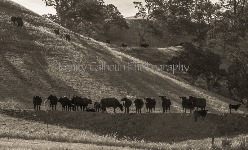 Yolo Land and Cattle 2014IMG_4586-Edit