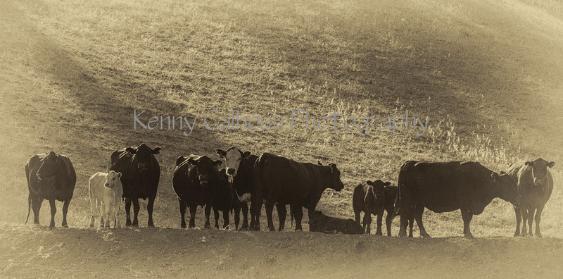 Yolo Land and Cattle 2014IMG_4582-Edit