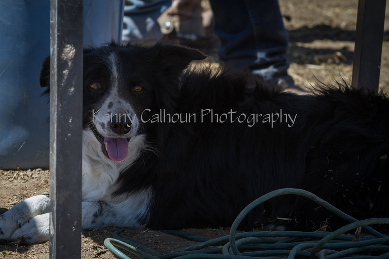 Yolo Land and Cattle 2014IMG_5228