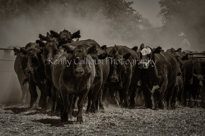 Yolo Land and Cattle 2014IMG_5258-Edit-2