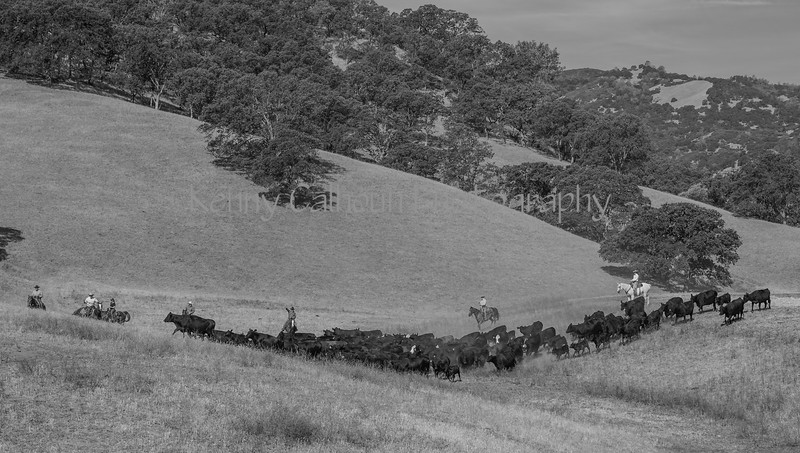 Yolo Land and Cattle 2014_N5A3782-Edit
