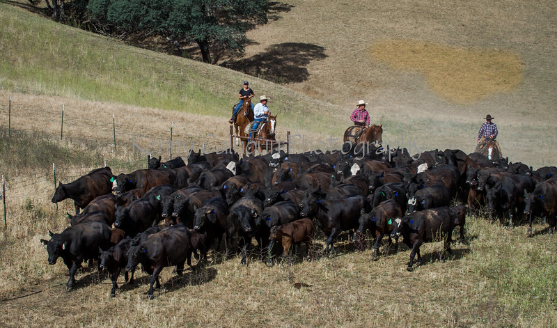 Yolo Land and Cattle 2014IMG_4649