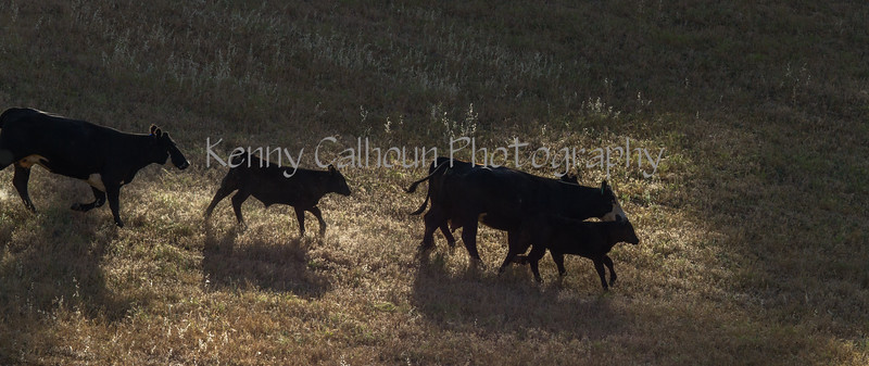 Yolo Land and Cattle 2014IMG_4593