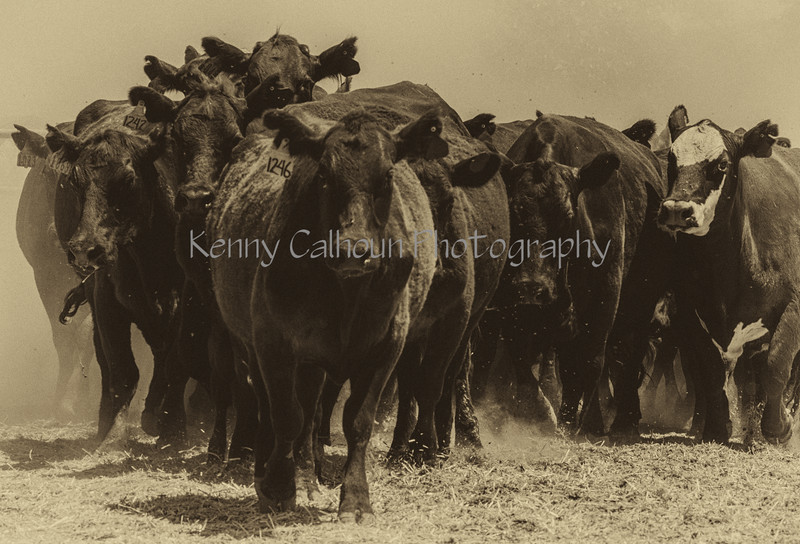 Yolo Land and Cattle 2014IMG_5258-Edit