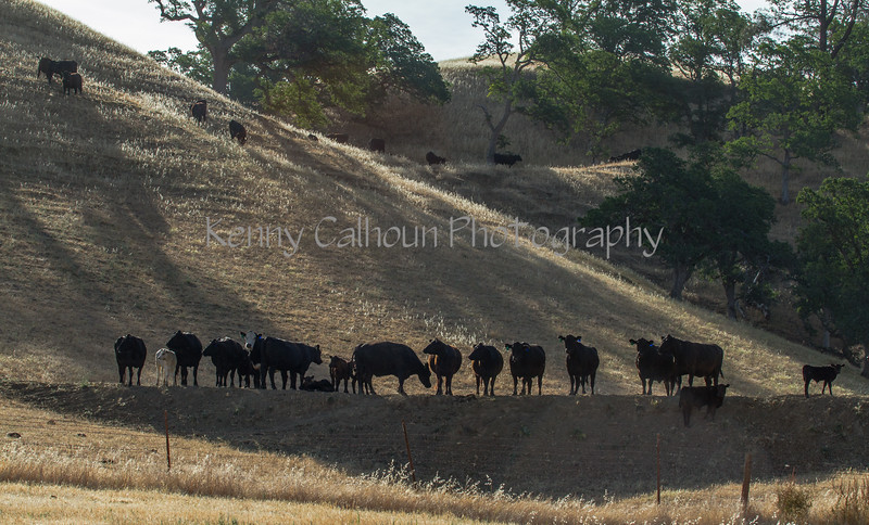 Yolo Land and Cattle 2014IMG_4586