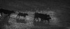 Yolo Land and Cattle 2014IMG_4593-Edit