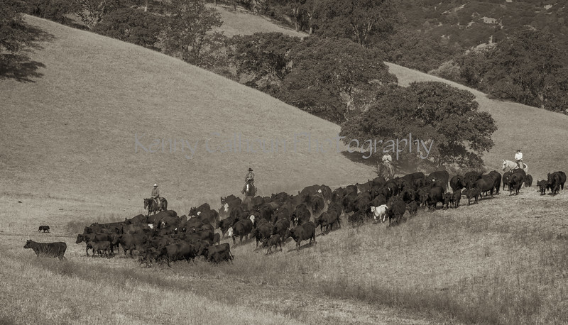 Yolo Land and Cattle 2014IMG_4639-Edit