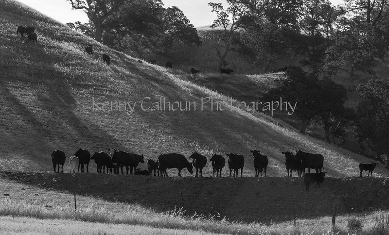 Yolo Land and Cattle 2014IMG_4586-2