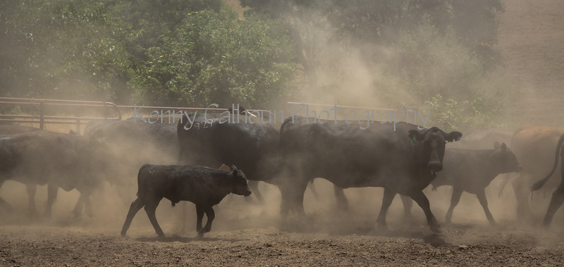 Yolo Land and Cattle 2014_N5A4868