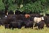 April_28,_2012IMG_9401untitledYolo_Land_&_Cattle_4-29-12