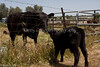 April_29,_2012IMG_8774untitledYolo_Land_&_Cattle_4-29-12
