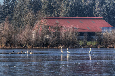 Swans On A Frozen Lake - Cowichan Valley, Vancouver Island, British Columbia, Canada