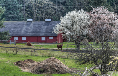 Red Barn, Horses and Cherry Trees - Vancouver Island, British Columbia, Canada