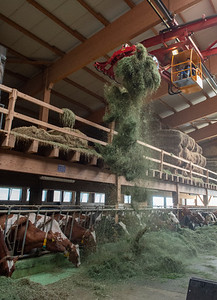 plattery_cows_barn_feeding_231