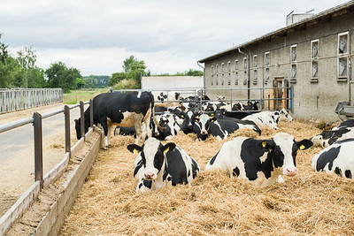 dry-cows-barn-auligk_180613_016