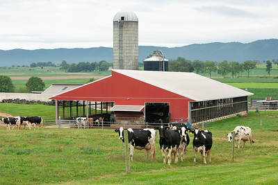 windy_knoll_view_cows_in_pasture_farm_034
