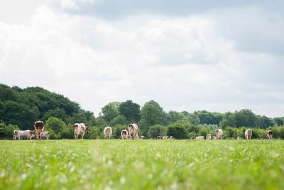 cows-pastrure-bos_170531_0001