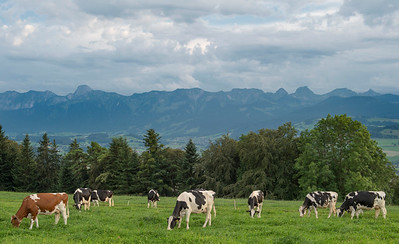 cows_pasture_swiss_hanni_250