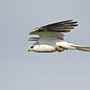 A white tail kite catchs a vole and brings it back to eat