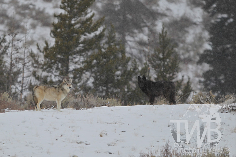 wolves traversing the area around Moose- Wilson Rd.in early December ; the Phantom Springs Pack