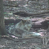 a Mexican Grey wolf taking a rest