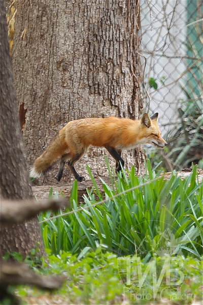 a female heading back to her kits