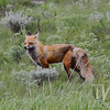 a Swift Fox,late spring in Yellowstone N.P.