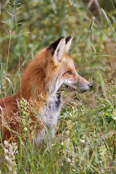 """"""" sun light twinkle"""" a Red Fox in the tall grass of Yellowstone N.P."""