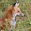 """ sun light twinkle"" a Red Fox in the tall grass of Yellowstone N.P."