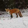 a Red Fox out for a early morning meal in the fresh snowfall